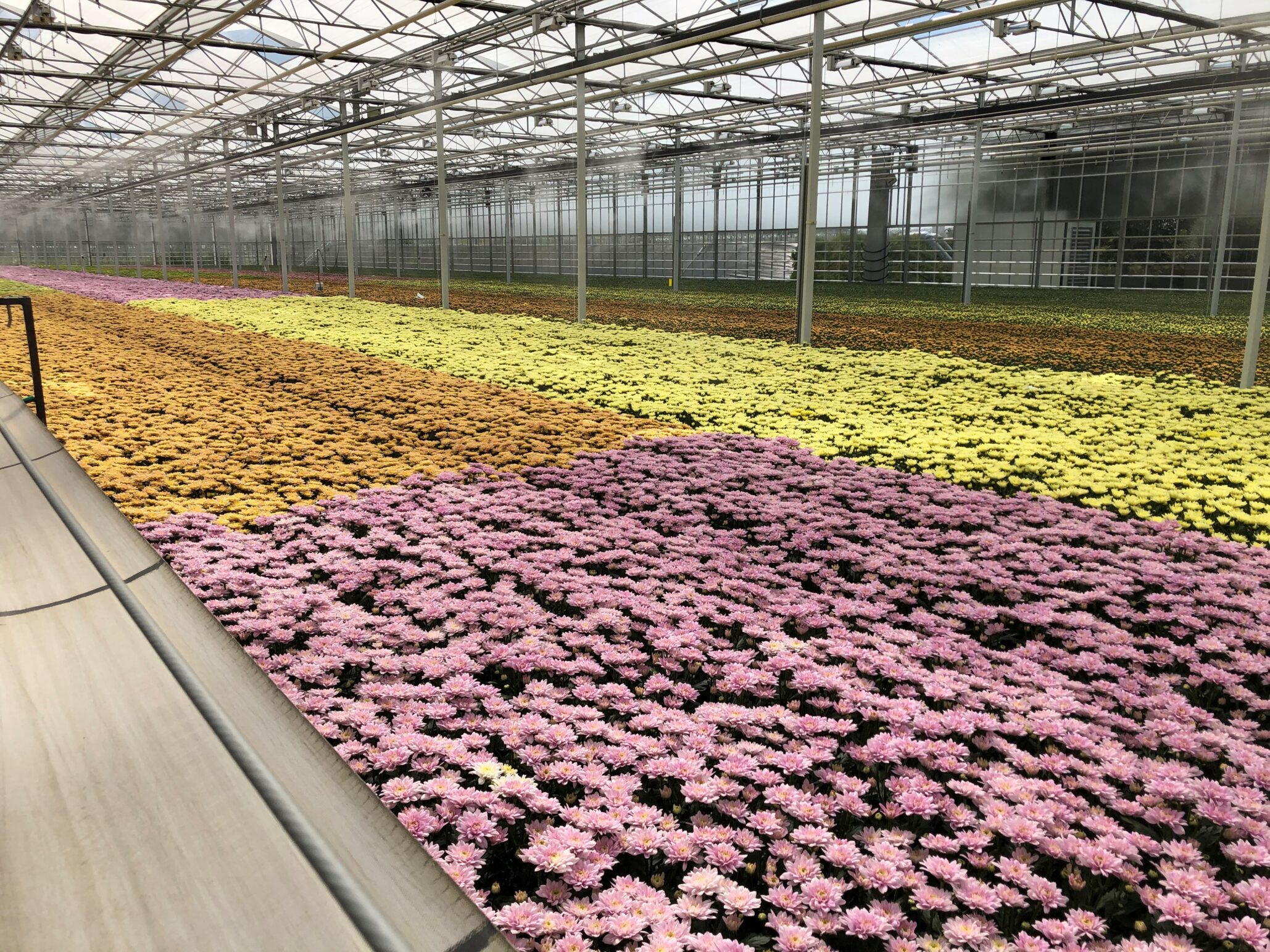 Linflowers Chrysanthemums