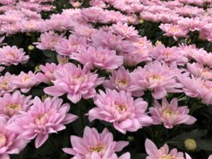 Linflowers Baltica Pink