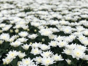 Linflowers Baltica White