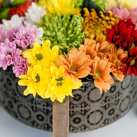 Chrysanthemum autumn flowers