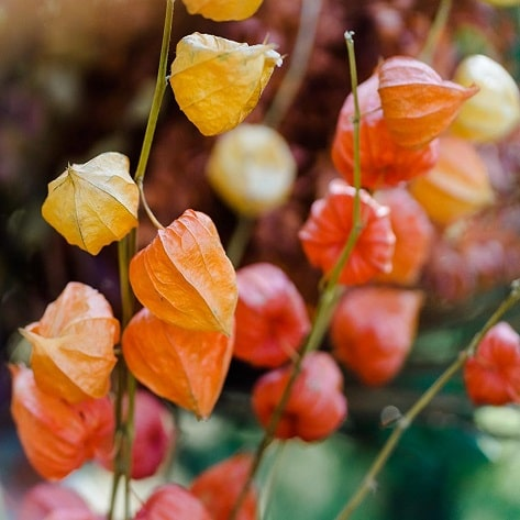 Physalis Autumn flowers